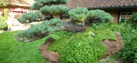 Kiefer Bonsai 60 Jahre alt